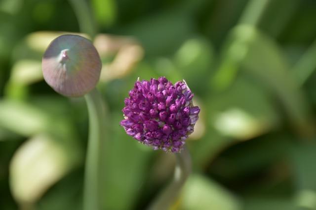 Klotlök blommande