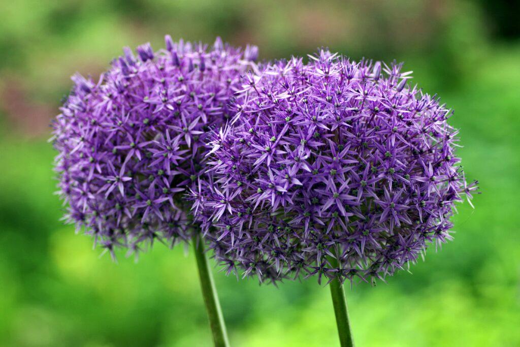 lila allium på sommaren