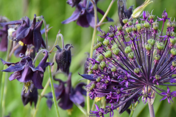 blommande akleja och allium